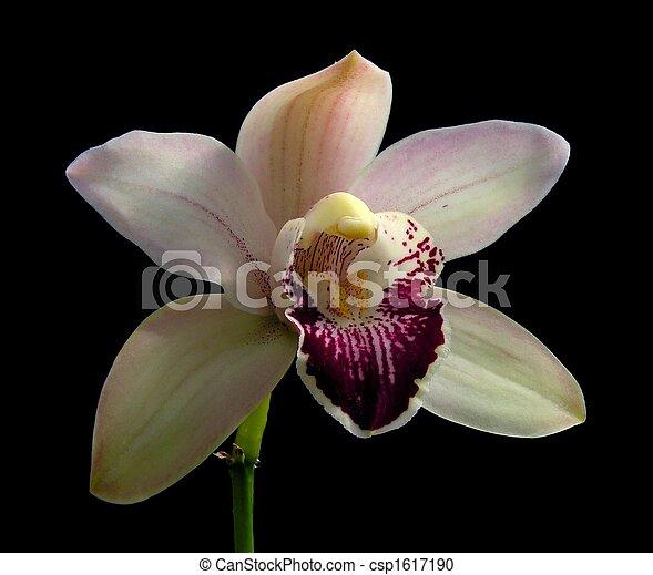 photo cr me color cymbidium orchid e hybride image images photo libre de droits. Black Bedroom Furniture Sets. Home Design Ideas
