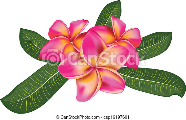 Vector Clipart of Pink plumeria with leaves - Pink plumeria, frangipani... csp16197601 - Search ...