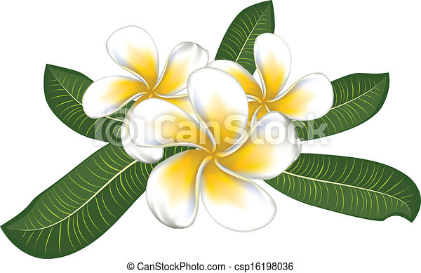 Plumeria Flower Line Drawing Vector - white plumeria with