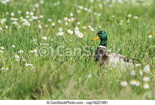 colvert,  mâle, fleurs, canard - csp16221981