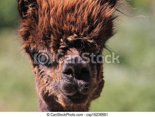 Pictures of Funny alpaca face and hair - Funny, humorous ...