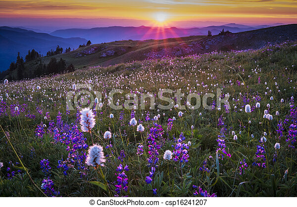 Mountain wildflowers backlit by sunset - csp16241207