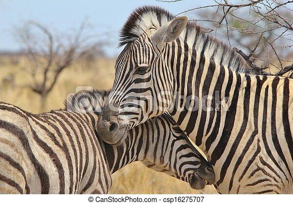 Zebra - Animal Love - csp16275707