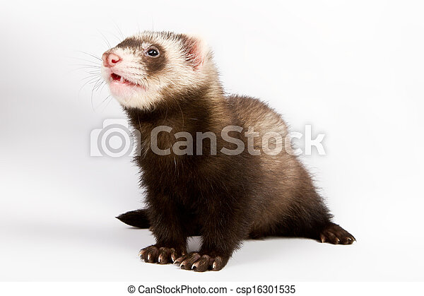 Ferret sitting and looking away - csp16301535