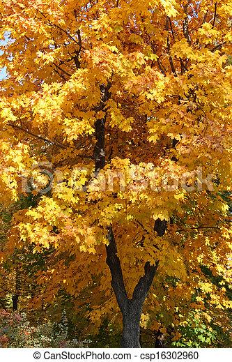 maple tree at fall - csp16302960