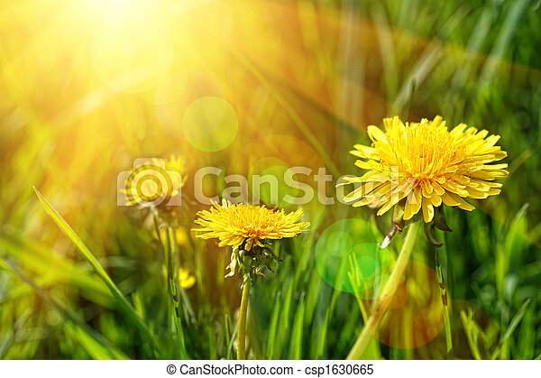 Big yellow dandelions in the tall grass - csp1630665