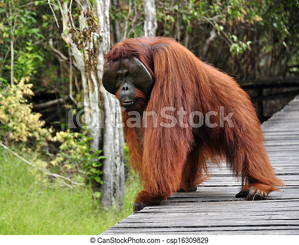 Orangutan at Rehabilitation Center - csp16309829
