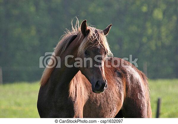 Pferd,  araber - csp1632097