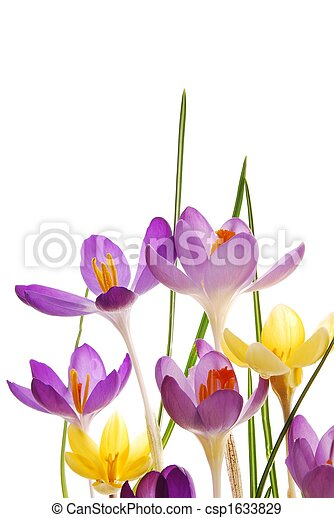Stock Photographs of Spring crocuses in vibrant colors - Close-up of violet and...