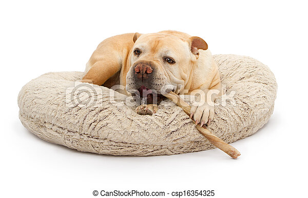 stock photo of english bulldog mixed breed dog with bully stick an csp16354325 search. Black Bedroom Furniture Sets. Home Design Ideas