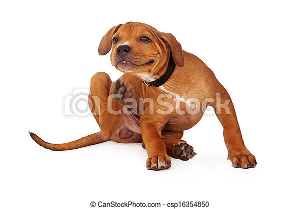Pit Bull Puppy Scratching - csp16354850