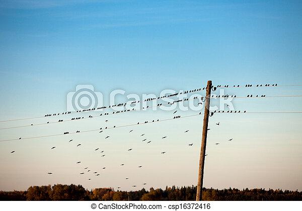 drót, madarak, elektromos - csp16372416