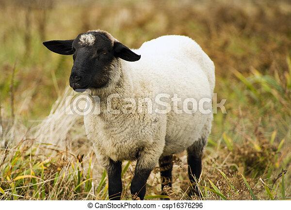 sheep, 家畜, 農場, 大農場, 國內, 動物, 哺乳動物, 吃草 - csp16376296