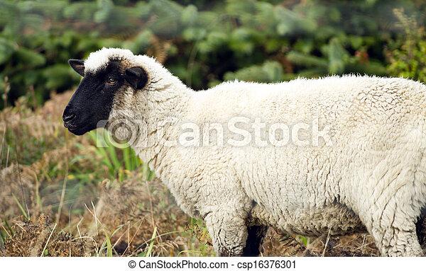 Sheep Ranch Livestock Farm Animal Grazing Domestic Mammal - csp16376301