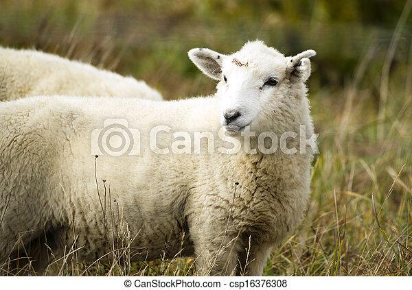 Sheep Ranch Livestock Farm Animal Grazing Domestic Mammal - csp16376308