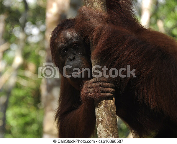 Orangutan at Rehabilitation Center - csp16398587