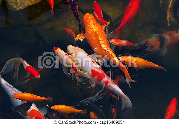Stock im genes de koi carpas pez japon s nataci n - Peces koi precio ...