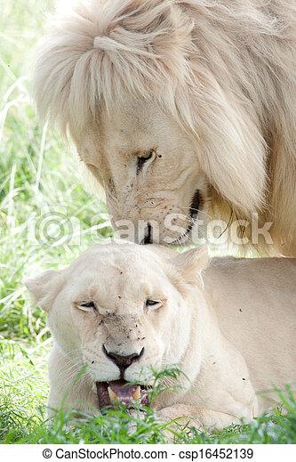 Stock de fotos de blanco leones apareamiento blanco macho le n cima csp16452139 - Leones apareamiento ...