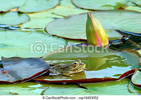 Frog  (Species: Hyla arborea) resting on waterlily leaves - csp16453052