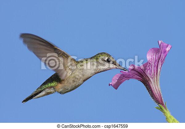 Juvenile Ruby-throated Hummingbird (archilochus colubris) - csp1647559