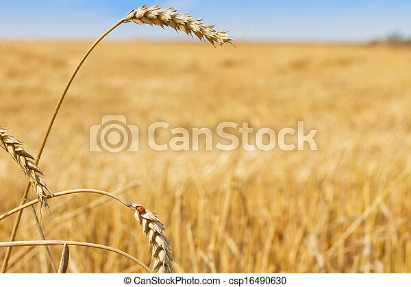 Rural scenery wheat and ladybird - csp16490630