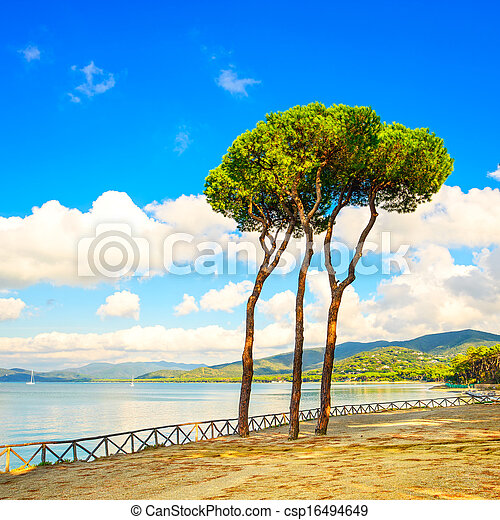 Pine tree group on the beach and sea bay background. Punta Ala, Tuscany, Italy - csp16494649