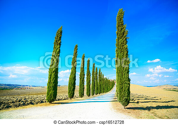 Cypress Trees rows and a white road rural landscape in val d Orcia land near Siena, Tuscany, Italy, Europe. - csp16512728
