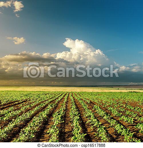 landwirtschaft, grün, Sonnenuntergang, Feld - csp16517888