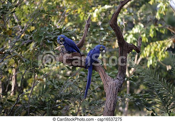 jacinto, papagallo, Anodorhynchus, hyacinthinus - csp16537275