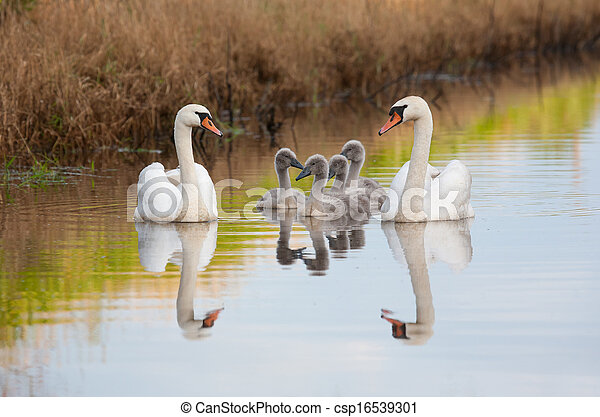 Mute swan family enjoying summer evening - csp16539301
