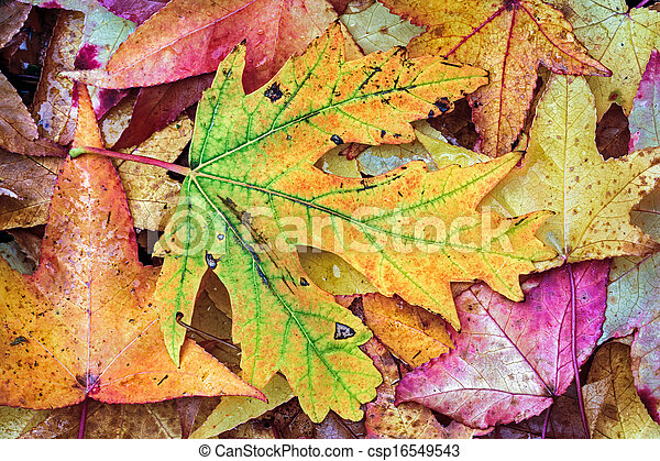 Intensely Colorful Fall Foliage - csp16549543