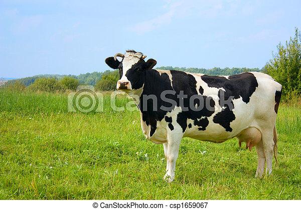 cow, with milk - csp1659067