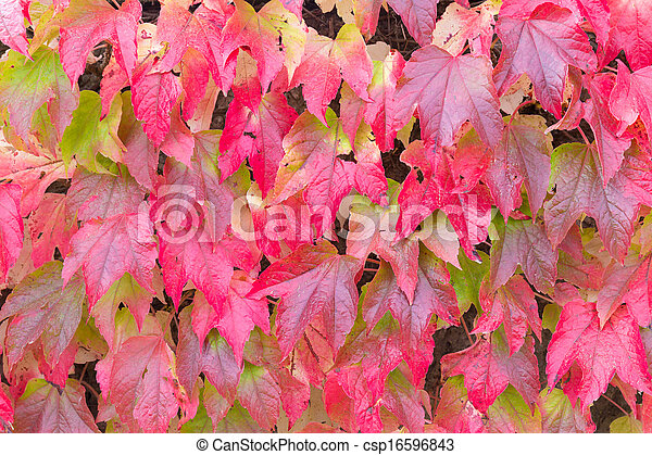 Red leaves of Boston ivy in the Fall - csp16596843