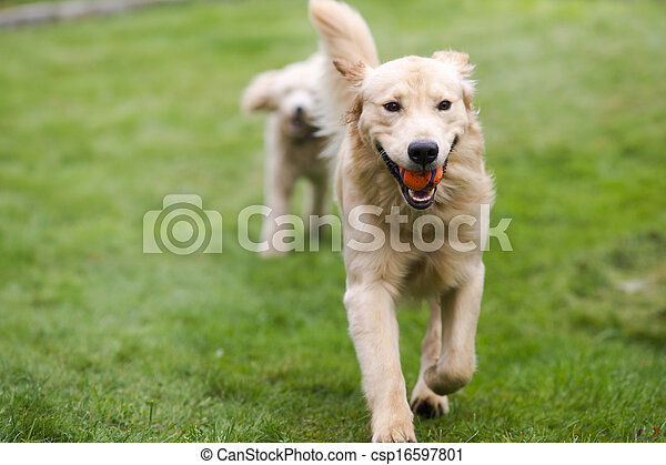 Happy Golden Retreiver Dog with Poodle Playing Fetch Dogs Pets - csp16597801