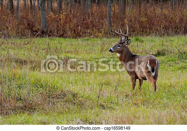 Whitetail Deer Buck - csp16598149