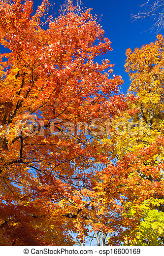 Bright Colorful Leaves on a Fall Trees - csp16600169