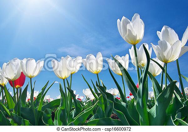 Tulips on blue sky - csp16600972