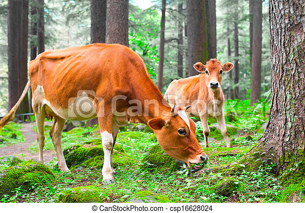 Farm animal. Cow and little calf  at grassy meadow in forest. India - csp16628024