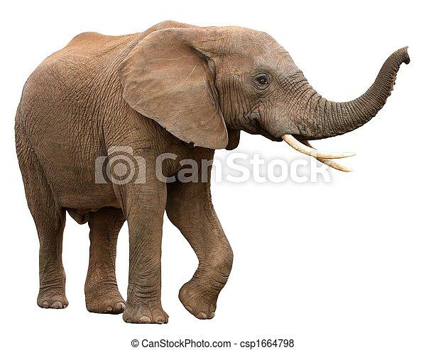 白色,  African, 被隔离, 大象 - csp1664798