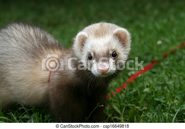 ferret on the lawn - csp16649818