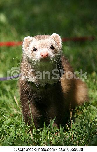 ferret on the grass - csp16659038