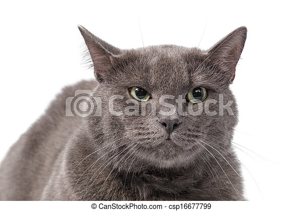 Young adult british shorthair cat with green eyes - csp16677799