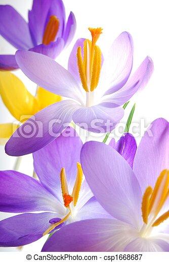 Spring crocuses - csp1668687