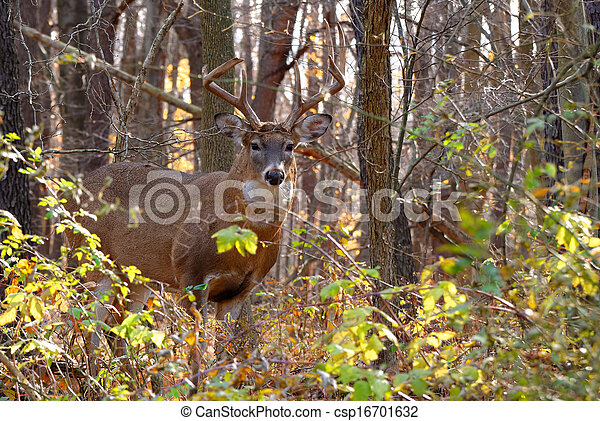 Whitetail Deer Buck - csp16701632