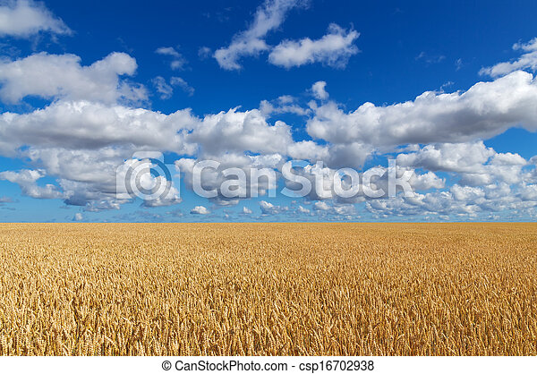 Golden wheat field under blue sky - csp16702938