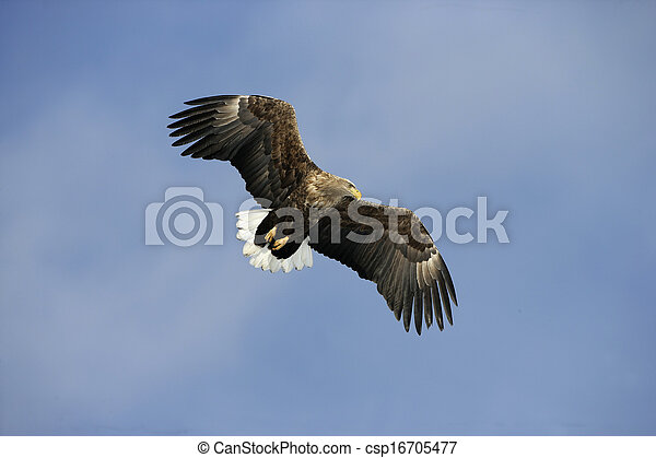 White-tailed sea-eagle, Haliaeetus albicilla - csp16705477