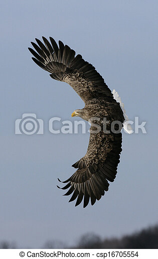 White-tailed sea-eagle, Haliaeetus albicilla - csp16705554