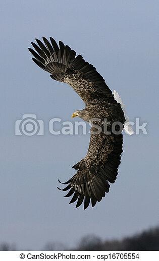 White-tailed sea-eagle, Haliaeetus albicilla - csp16705554