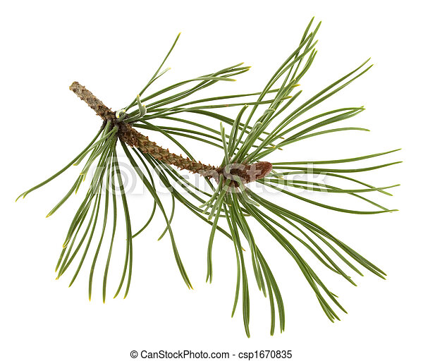 white pine twig with a flower bud - csp1670835