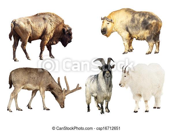 Artiodactyla mammal animals  - csp16712651